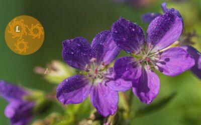 Etherische olie voor April: geranium